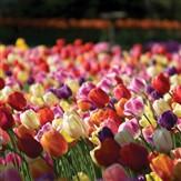 Pella Tulip Festival